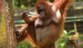 cool monkey orangutan tree come here often animal zoo funny pics pictures pic picture image photo images photos lol