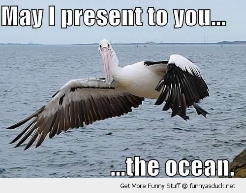 pelican bird present ocean sea water animal wing funny pics pictures pic picture image photo images photos lol