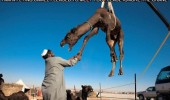 flying camel hello sir crane dessert shaking hands animal funny pics pictures pic picture image photo images photos lol