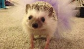 i feel pretty baby hedgehog tu tu dress cute animal funny pics pictures pic picture image photo images photos lol