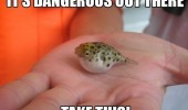 tiny cute blow fish dangerous out there take this animal hand funny pics pictures pic picture image photo images photos lol