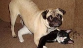 not what it looks like cat dog pug animal sex humping couch funny pics pictures pic picture image photo images photos lol