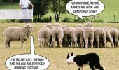 conspiracy sheep dog farmer herding animals working together funny pics pictures pic picture image photo images photos lol