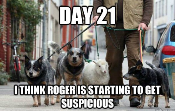 day 21 sheep lead leash dogs undercover suspicious animal funny pics pictures pic picture image photo images photos lol