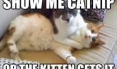 show me catnip kitten gets it cat lolcat animal fighting funny pics pictures pic picture image photo images photos lol