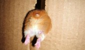 damn it fat hamster animal stuck hate this box funny pics pictures pic picture image photo images photos lol