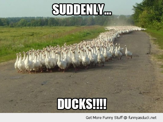 suddenly ducks animals birds stampede road funny pics pictures pic picture image photo images photos lol