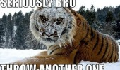 seriously bro angry tiger animal cat snow another snowball funny pics pictures pic picture image photo images photos lol