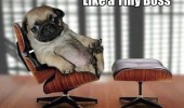 tiny boss dog pug puppy chair cute funny pics pictures pic picture image photo images photos lol