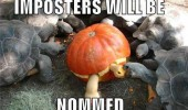 impostors nommed turtles tortoise animals pumpkin carving halloween animal funny pics pictures pic picture image photo images photos lol