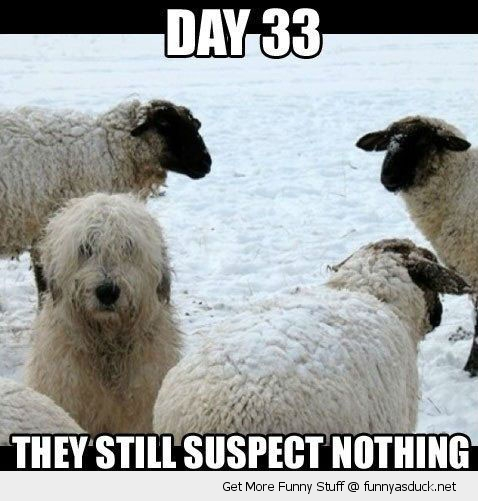 undercover dog animal sheep suspect nothing hiding snow white day 33 funny pics pictures pic picture image photo images photos lol