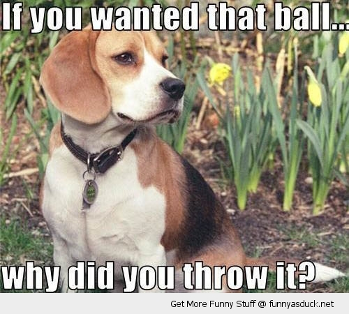 why did you throw ball skeptical puppy dog animal play funny pics pictures pic picture image photo images photos lol