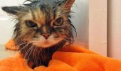 angry cute cat towel kitten animal wet pussy seen weeks funny pics pictures pic picture image photo images photos lol