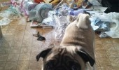 sorted your recyclables pug dog animal mess kitchen bin garbage funny pics pictures pic picture image photo images photos lol