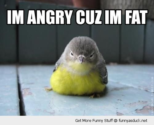 angry grumpt bird animal baby chick cuz I'm fat funny pics pictures pic picture image photo images photos lol
