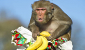 angry grumpy monkey animal xmas christmas present bananas again seriously funny pics pictures pic picture image photo images photos lol