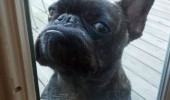 angry grumpy pug dog animal door window mighty tired shit dude open the funny pics pictures pic picture image photo images photos lol