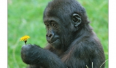 baby gorilla holding flower give sweetheart shove ass eat animal monkey funny pics pictures pic picture image photo images photos lol