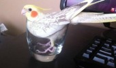 happy bird budgie animal glass cup fits i sits funny pics pictures pic picture image photo images photos lol