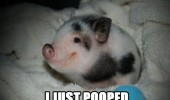 cute happy baby pig piglet animal smiling i just pooped funny pics pictures pic picture image photo images photos lol