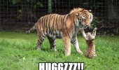 cute tiger cub animal big cat paws up air mom mum hugs hugz funny pics pictures pic picture image photo images photos lol
