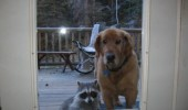 dog animal raccoon door window can my new friend come in funny pics pictures pic picture image photo images photos lol