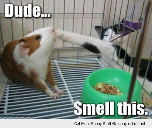 cat lolcat animal guinea pg paw through cage nose dude smell this funny pics pictures pic picture image photo images photos lol