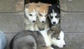 fine didnt want come in anyway sad dog puppy husky animal kennel funny pics pictures pic picture image photo images photos lol