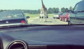 giraffe animal standing road blocking cars because fuck you thats why funny pics pictures pic picture image photo images photos lol
