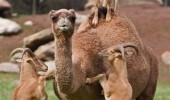 goats standing camels back animal go home drunk funny pics pictures pic picture image photo images photos lol