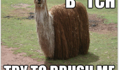 hairy dog animal llama alpaca dreads bitch try to brush me funny pics pictures pic picture image photo images photos lol