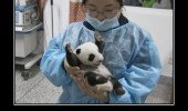 cute baby panda bear arms up yay born animal funny pics pictures pic picture image photo images photos lol