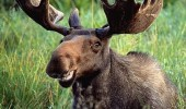 happy smiling moose animal posing cheese funny pics pictures pic picture image photo images photos lol