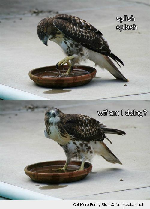 bird hawk animal splash water bath wtf what am i doing confused funny pics pictures pic picture image photo images photos lol