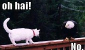 cat lolcat animal walking fence bald eagle bird hi no  funny pics pictures pic picture image photo images photos lol