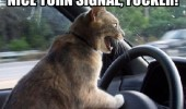 angry cat lolcat animal shouting driving car nice turn signal fucker funny pics pictures pic picture image photo images photos lol