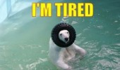 polar bear animal playing pool tire head pun joke i'm tired funny pics pictures pic picture image photo images photos lol