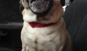 happy excited pug dog animal car mom stop dairy queen funny pics pictures pic picture image photo images photos lol