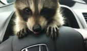 raccoon driving car steering wheel pun joke animal little over my head  funny pics pictures pic picture image photo images photos lol