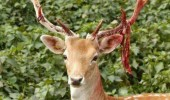 rudolph reindeer crazy mad blood antlers laugh call names used to santa xmas christmas funny pics pictures pic picture image photo images photos lol