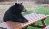 bear animal sitting picnic bench sad service hear unbearable pun joke funny pics pictures pic picture image photo images photos lol