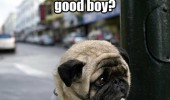 sad unhappy depressed pug dog animal ever find out good boy funny pics pictures pic picture image photo images photos lol