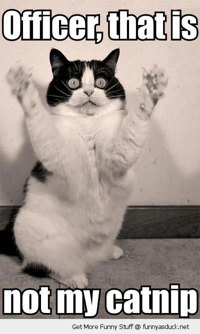 scared cat lolcat animal hands paws up officer not my catnip funny pics pictures pic picture image photo images photos lol