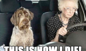 scared shocked dog animal old lady senior citizen driving car this is how die funny pics pictures pic picture image photo images photos lol