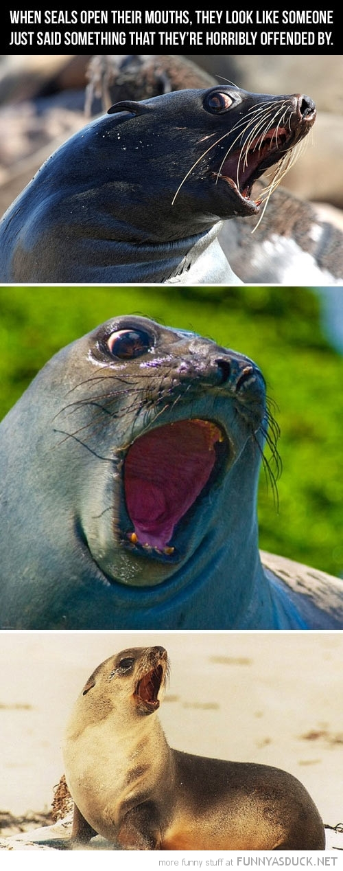 seals animals open mouth said something offending funny pics pictures pic picture image photo images photos lol