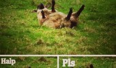 sheep stuck back call 911 help please halp pls animal funny pics pictures pic picture image photo images photos lol