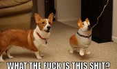shocked confused corgi dog animal balloon fuck is this shit funny pics pictures pic picture image photo images photos lol