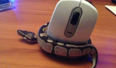 snake animal constricting squeezing computer mouse instict doing wrong funny pics pictures pic picture image photo images photos lol