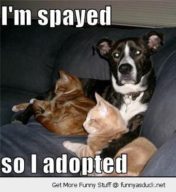dog sitting couch sofa cats lolcats animal i'm spayed so adopted  funny pics pictures pic picture image photo images photos lol