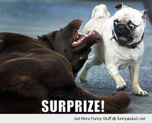 surprise dog giving pug fright animal shocked funny pics pictures pic picture image photo images photos lol